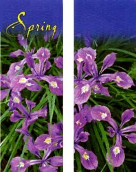 SPRING BEAUTY SIBERIAN IRIS, DOUBLE