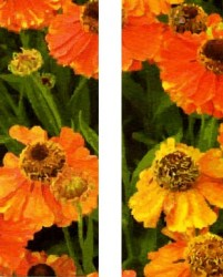 ORANGE POPPIES, DOUBLE